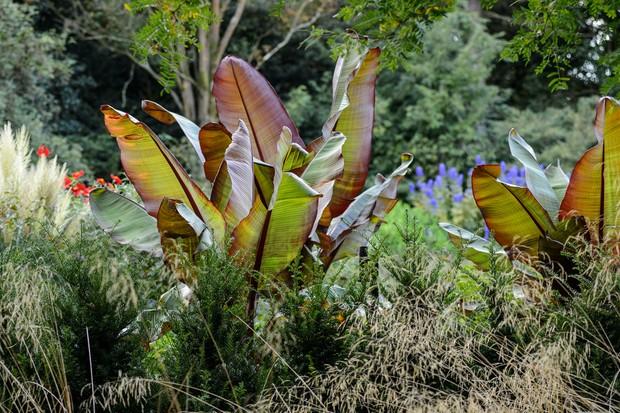 ensete-ventricosum-maurelii-4
