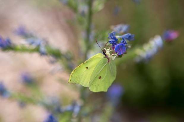 brimstone-butterfly-4