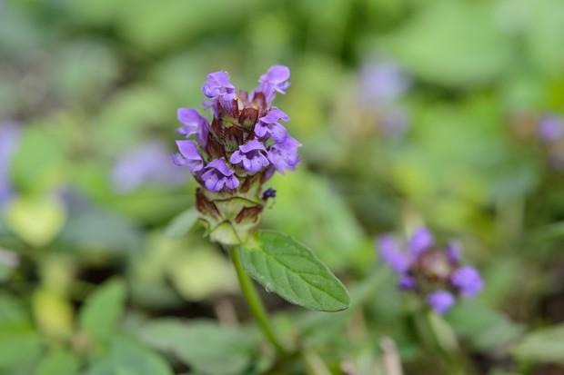 selfheal-prunella-vulgaris-2