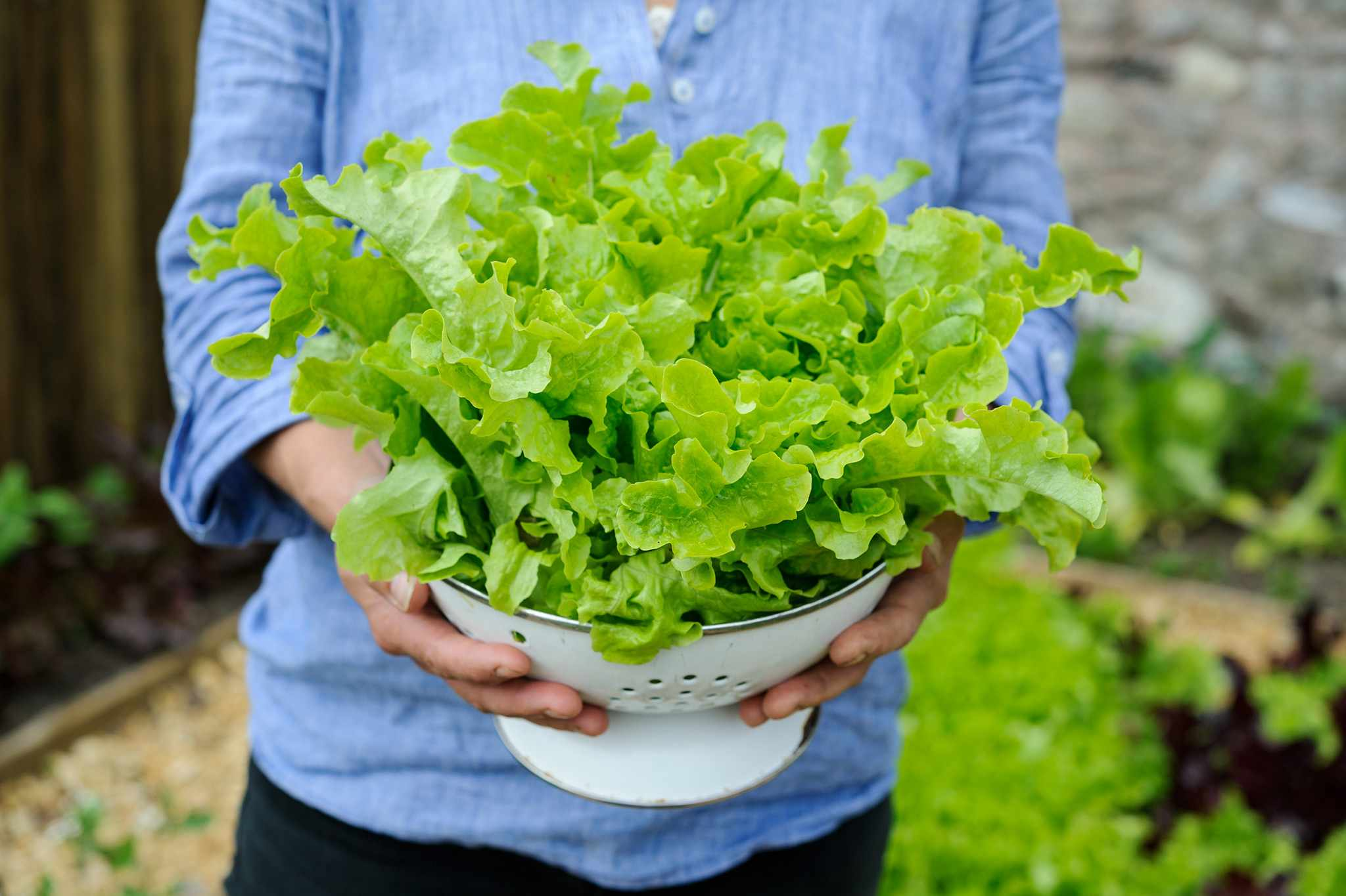 Freshly harvested lettuce leaves in a colander