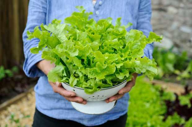 Freshly harvested lettuce leaves in a colander