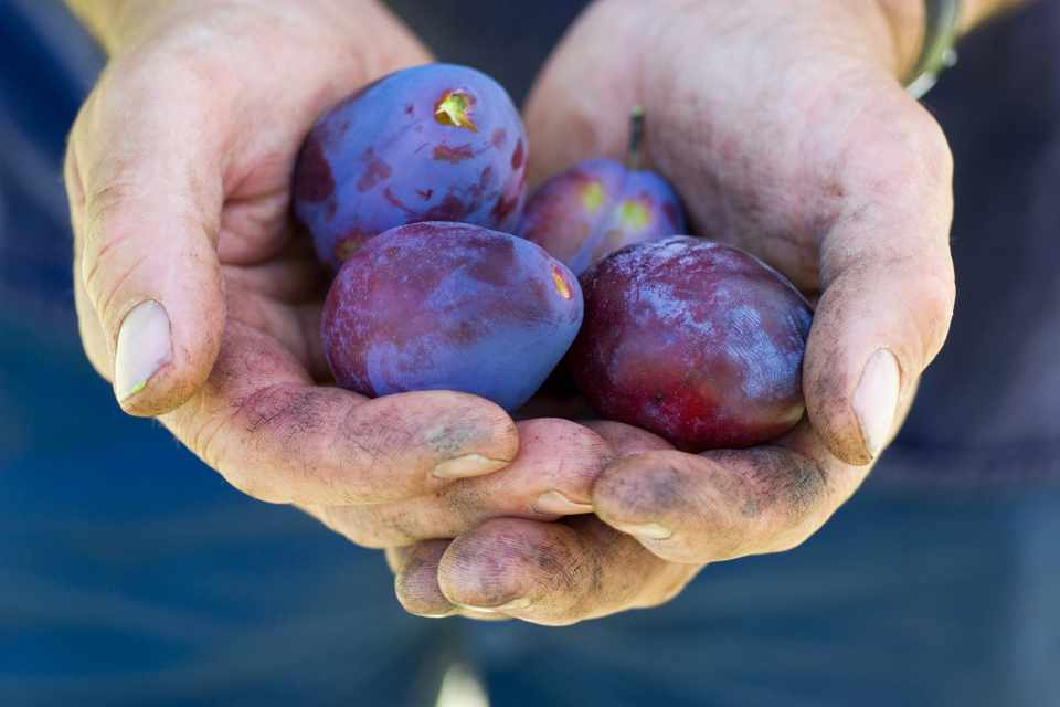 Plums – Grow Guide