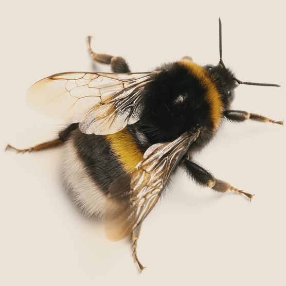 Bumblebee. Photo: Getty Images.