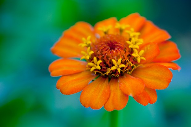 An orange bloom of zinnia 'Early Wonder'