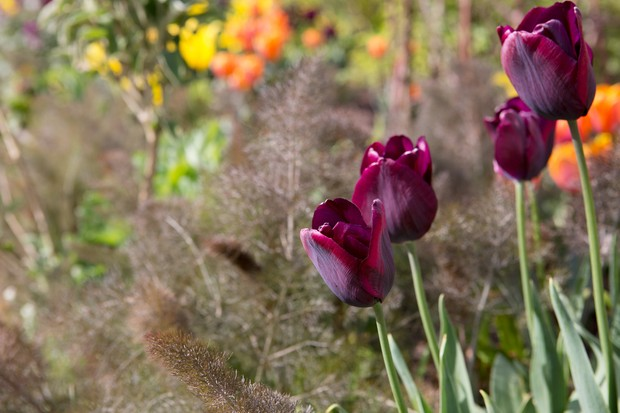tulips-growing-with-bronze-fennel