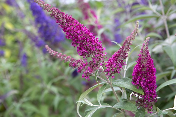 Deep pink flowers of <em>Buddleja davidii</em> 'Summer Beauty'