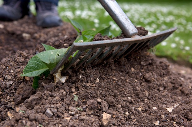 Raking earth up around the stems of a young potato plant