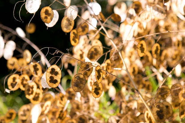 Transparent seed-heads of honesty