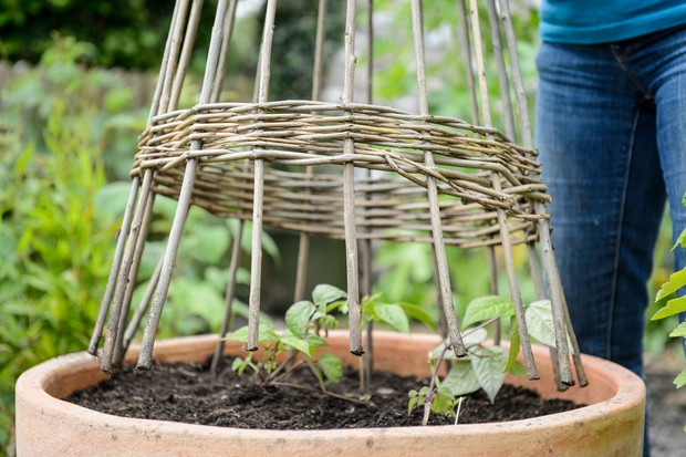 Placing a wigwam support beside young runner bean plants