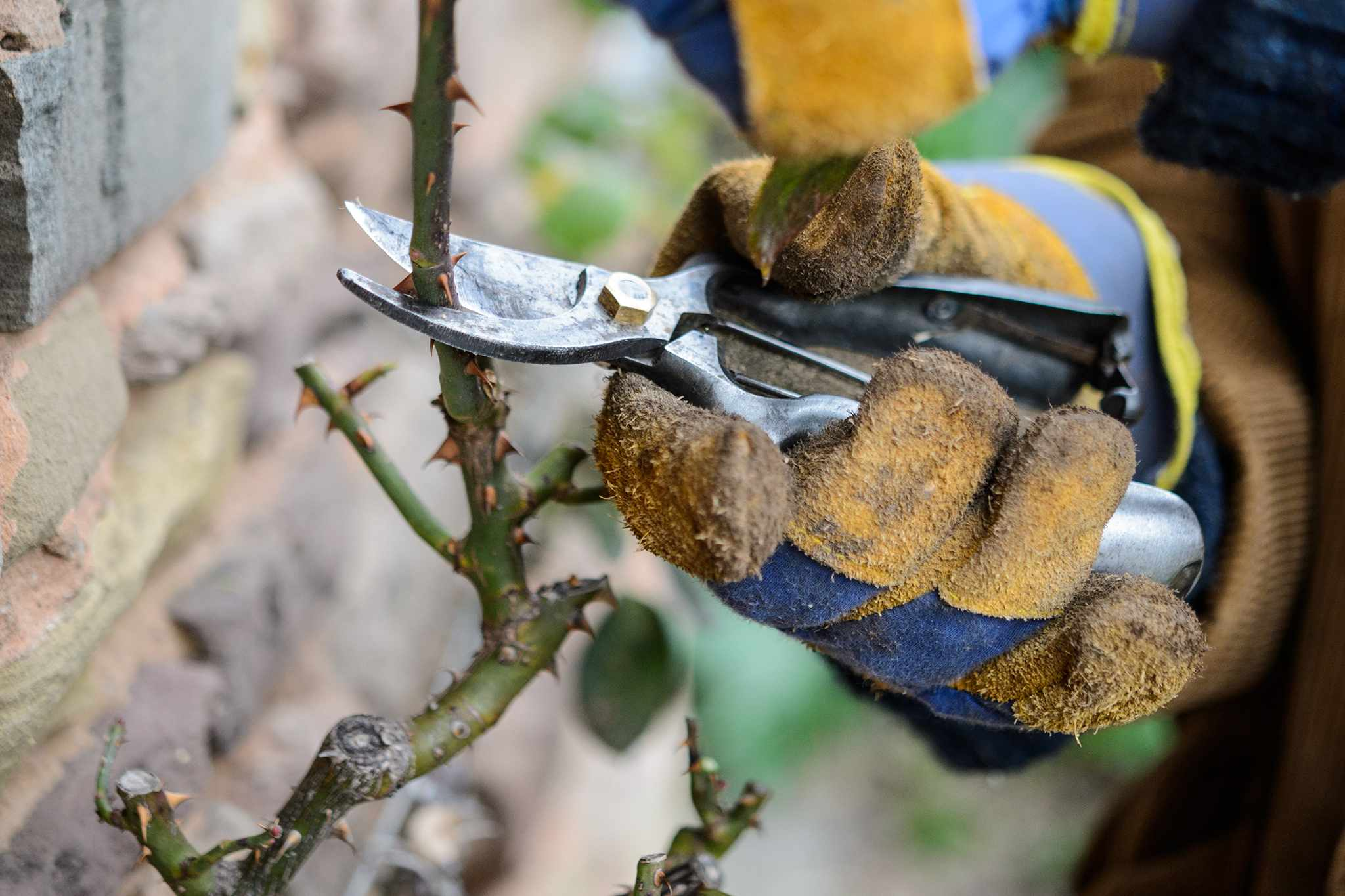 Pruning a climbing rose sideshoot