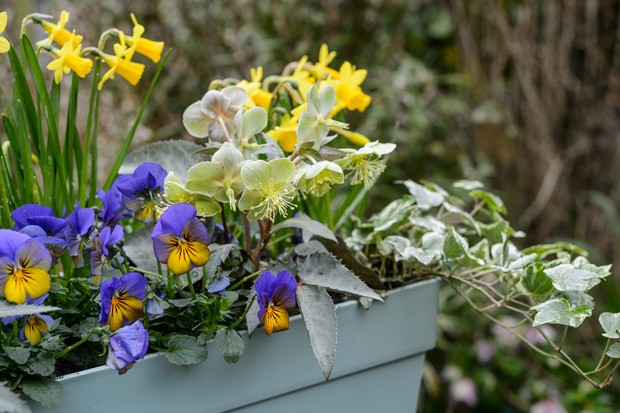 hellebore-viola-and-pansy-winter-and-spring-container-2