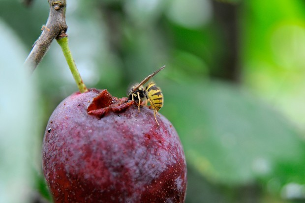A wasp eating a plum