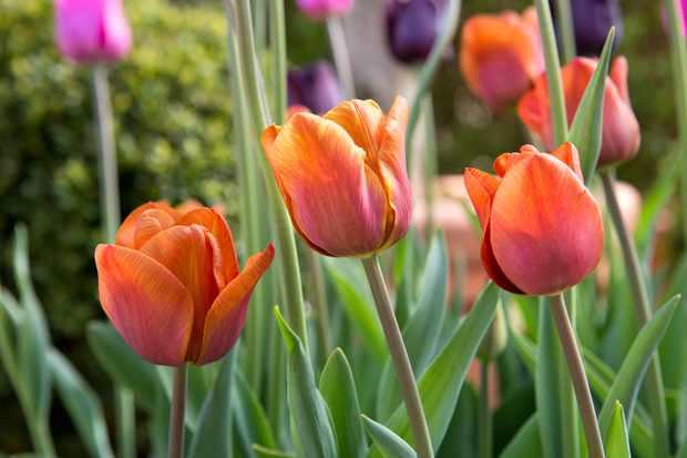tulip-cairo-2