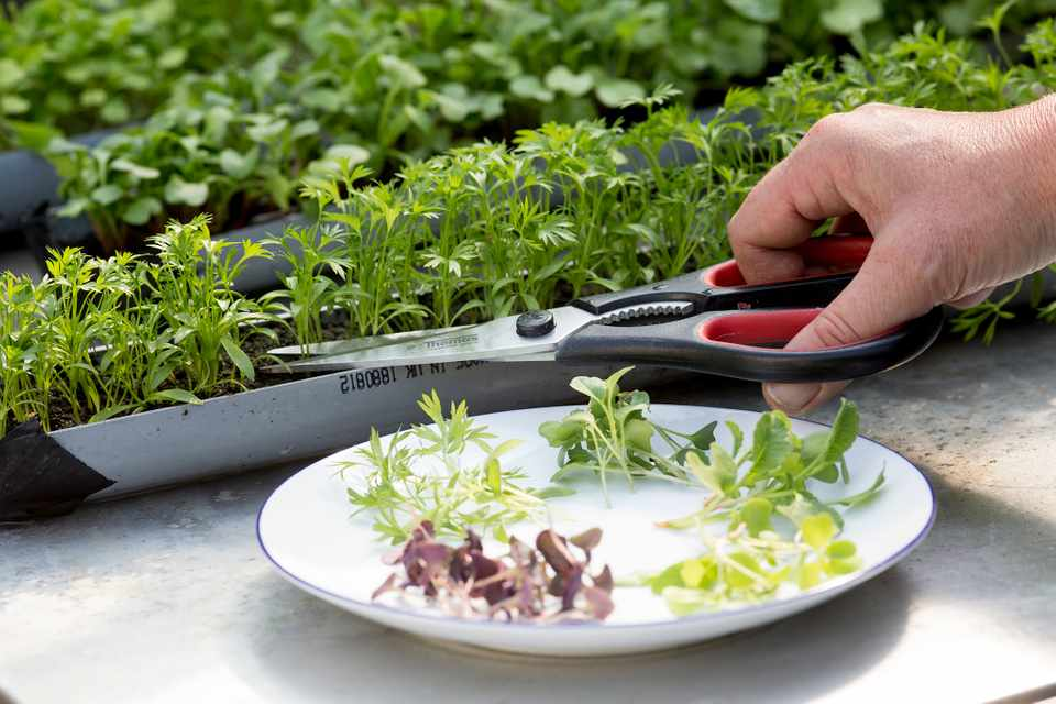 cultivation of microgreens
