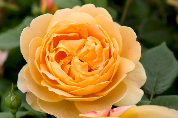 rosa-golden-celebration-3