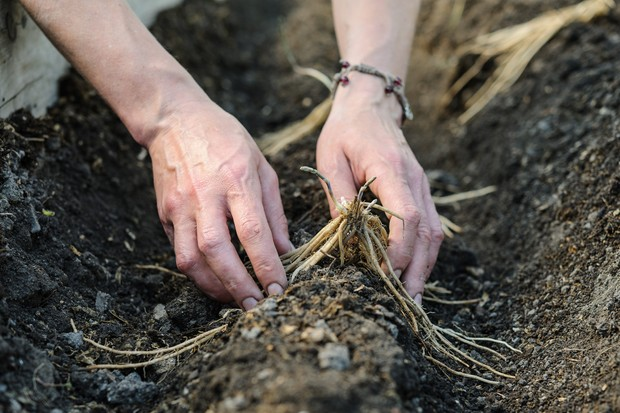 planting-asparagus-crowns-2