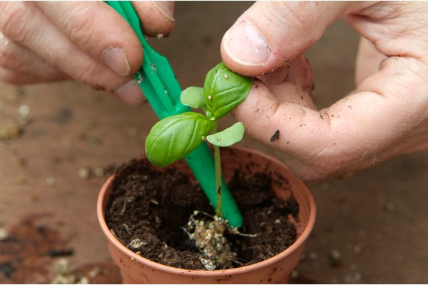 How to grow herbs from seed discs - potting on a basil seedling