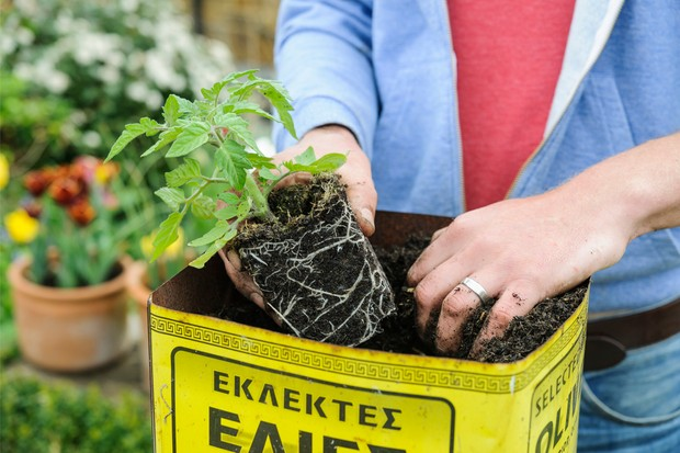 Planting a young tomato plant into a large container made from an olive oil canister