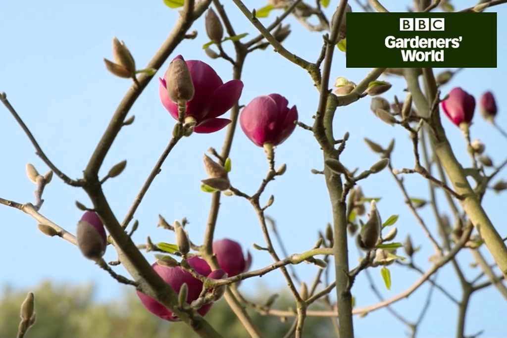 How to plant a magnolia (video)