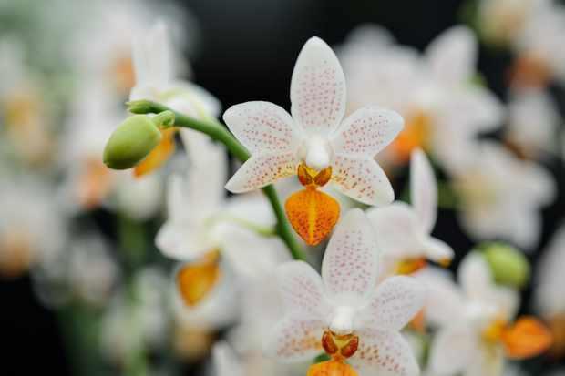 phalaenopsis_-mini-mark-3
