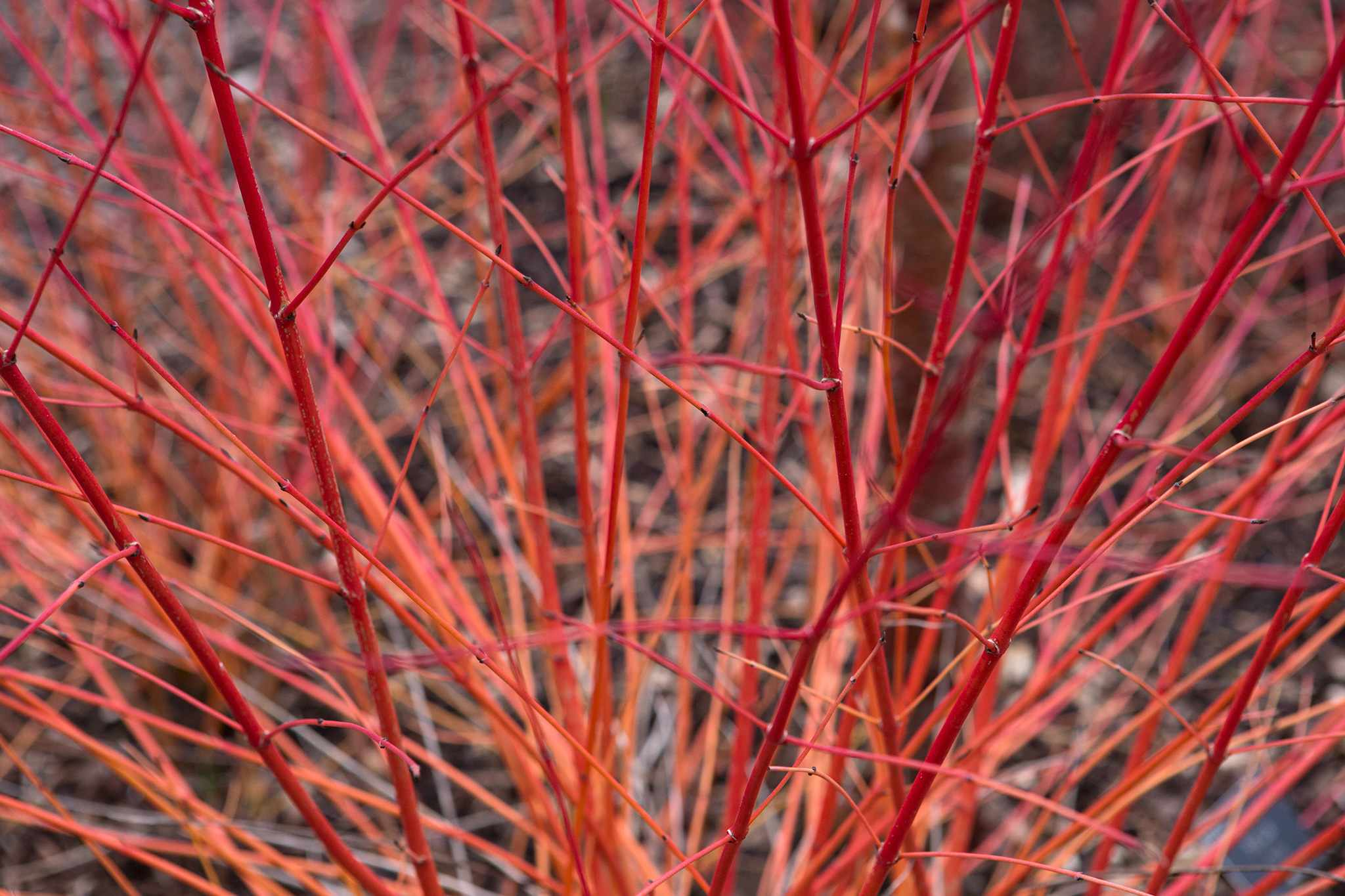 Best Dogwoods for Winter Colour