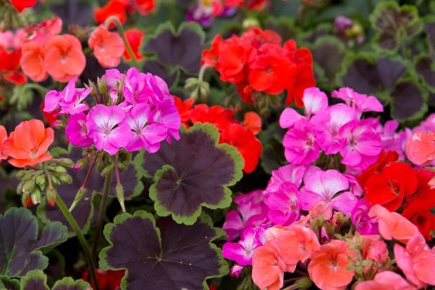 pelargonium-blooms-3