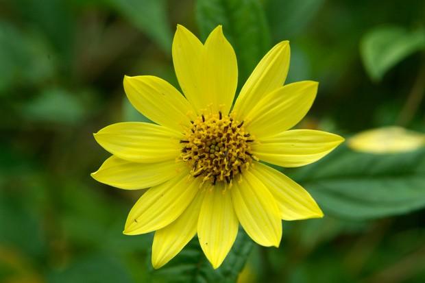 Yellow, daisy-like flower of sunflower 'Lemon Queen'