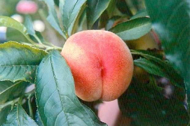 growing-peaches-and-nectarines-in-pots-2