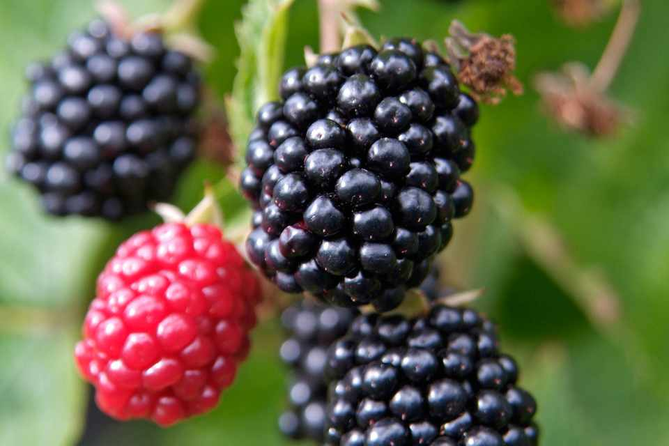 Blackberries, ripe and ripening