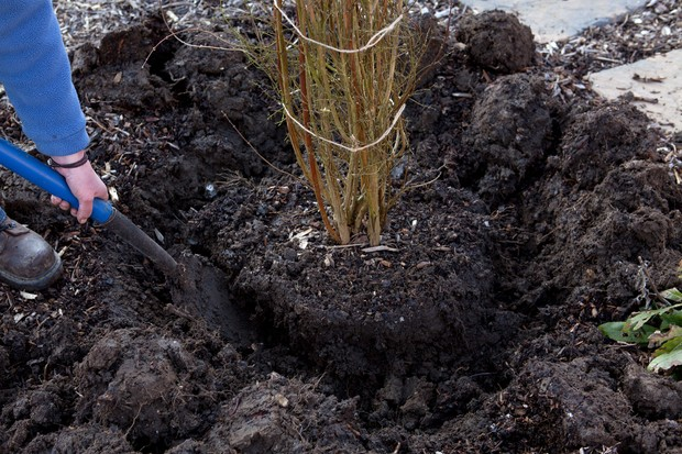 Digging out a trench around the shrub