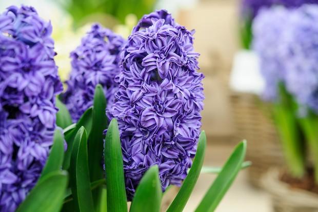 hyacinth-image-2