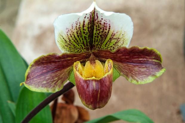 paphiopedalum-orchid-4