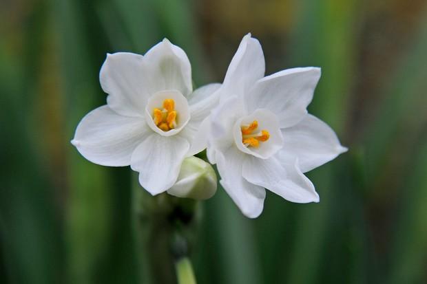 narcissus-paperwhite-ziva-2
