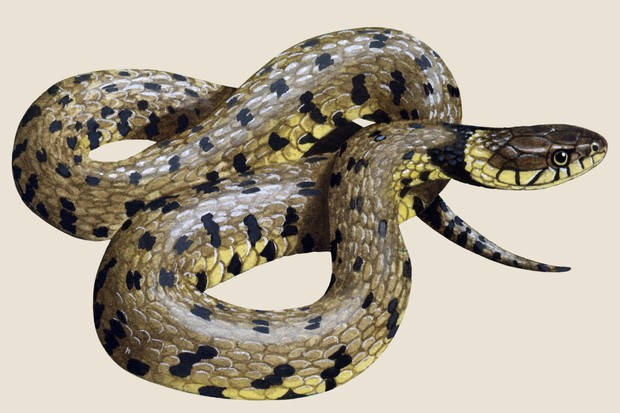 Grass snake (Natrix helvetica) illustration
