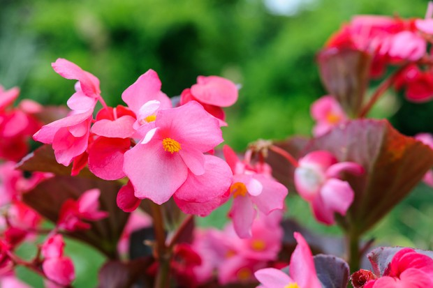 Pink flowers of begonia 'Big'