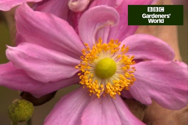How to take root cuttings of Japanese anemones video