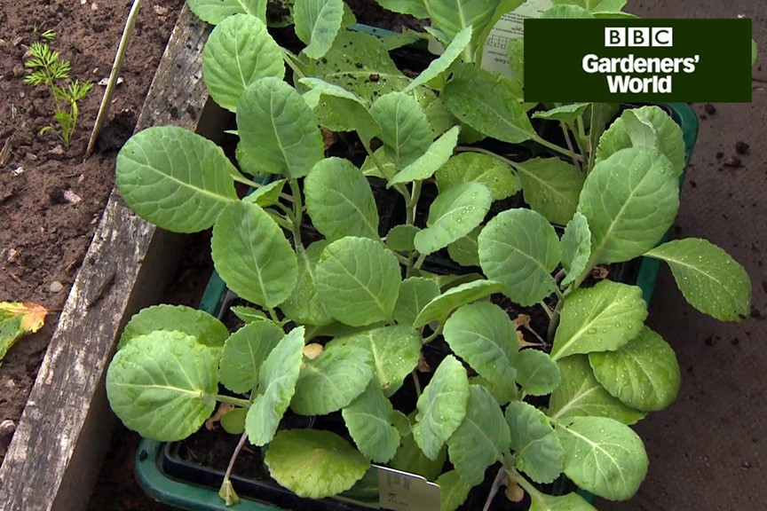 How to grow spring greens video