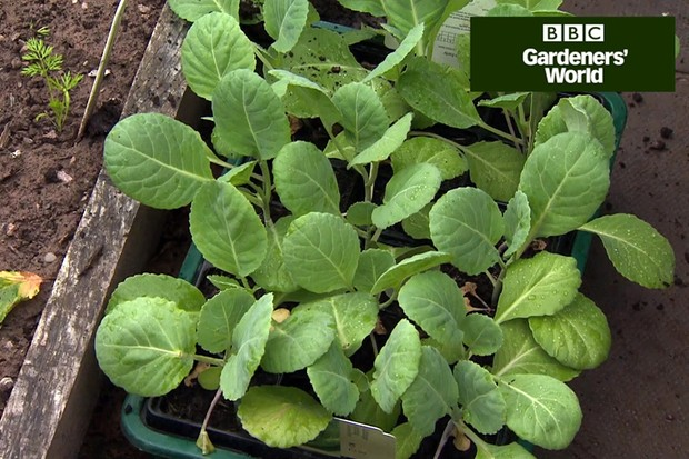 How to grow spring greens