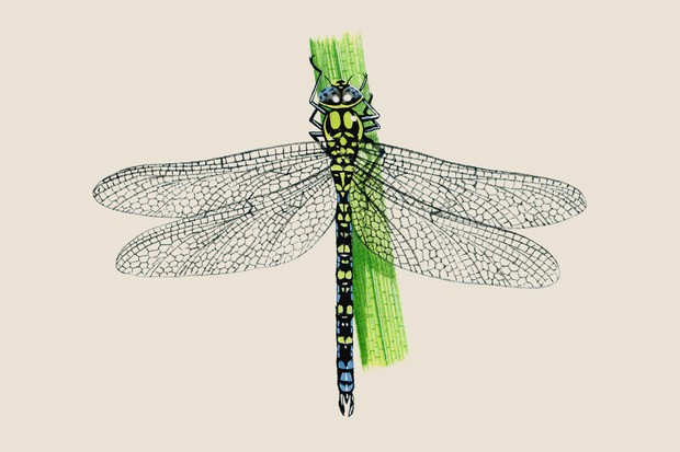 Illustration of a souther hawker, with a black, green and blue abdomen