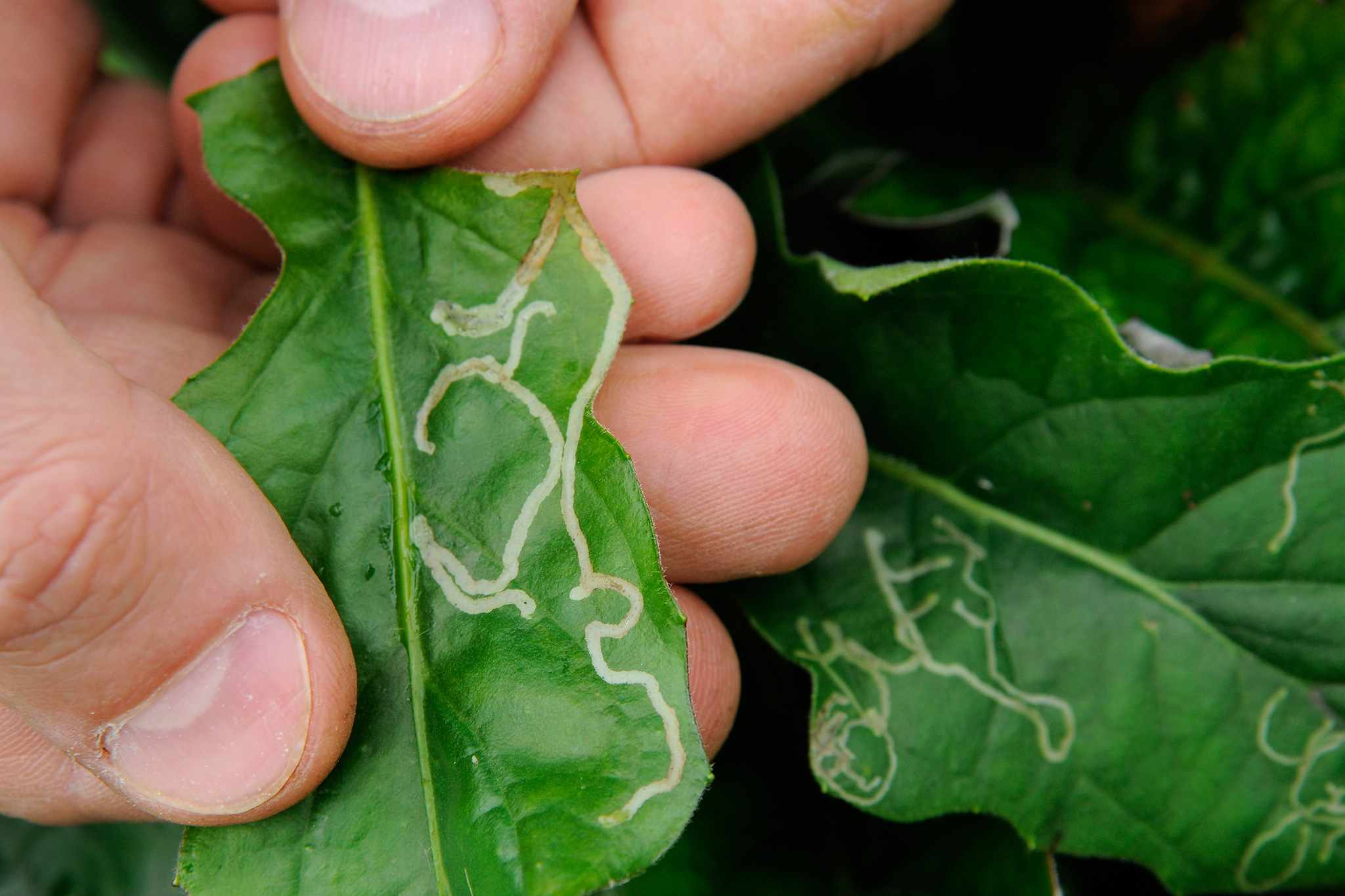 Leaves showing silvery trails caused by burrowing larvae of leaf miner flies