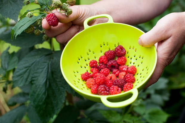 Harvesting raspberries into a colander