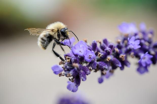 Common carder bee, Bombus pascuorum, on lavender 'Hidcote'