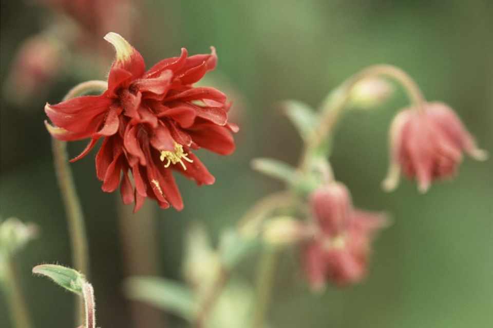 Brown-orange, double flowers of aquilegia 'Roundway Chocolate'