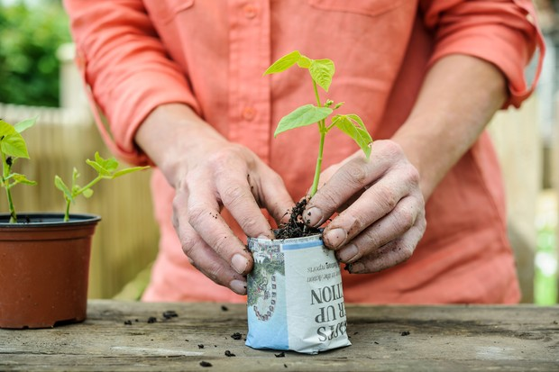 Potting on young French bean plants