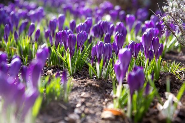 crocus-tommasinianus-whitewell-purple-3