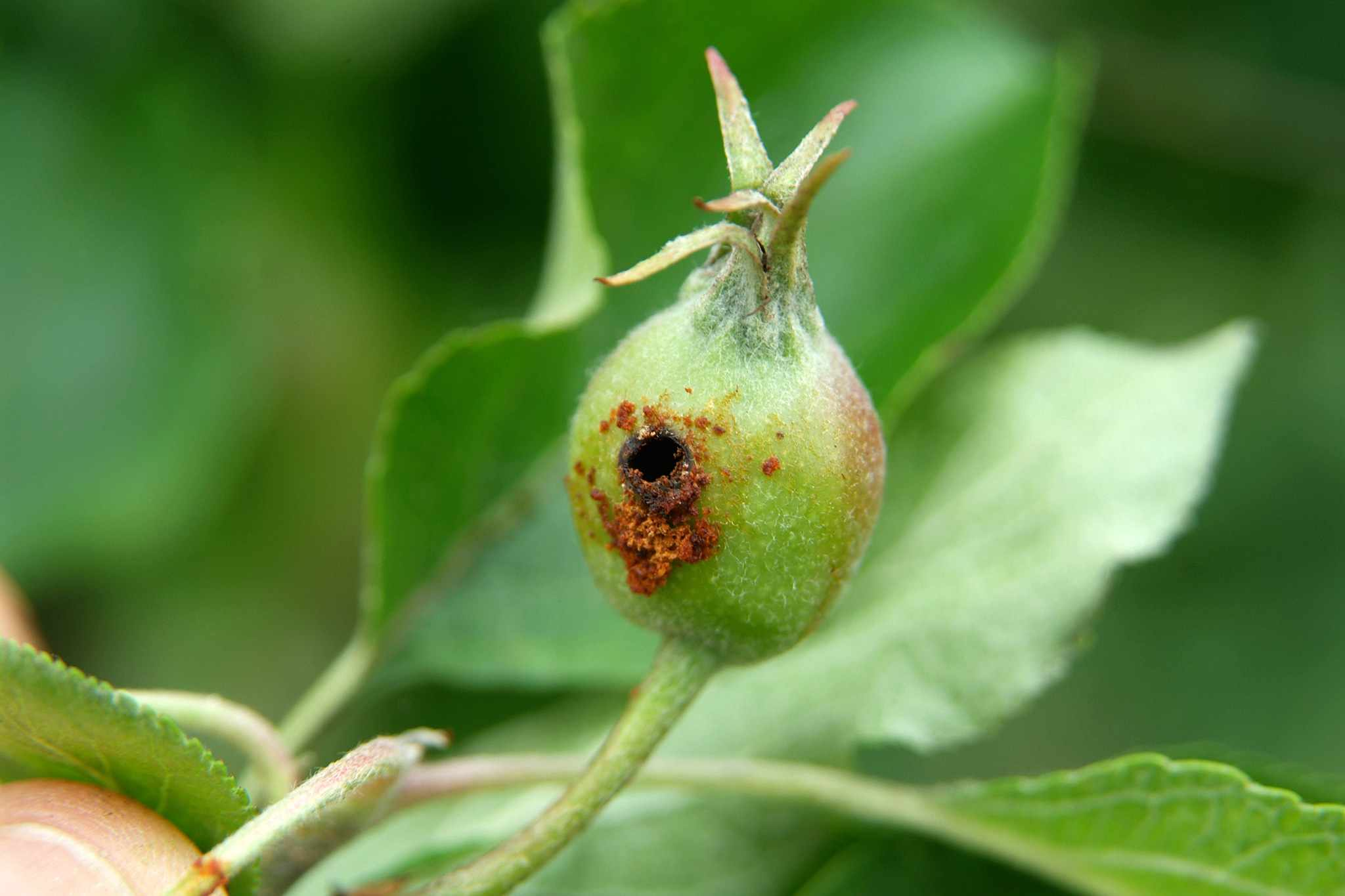 A developing fruit tunnelled through by a codling moth caterpillar