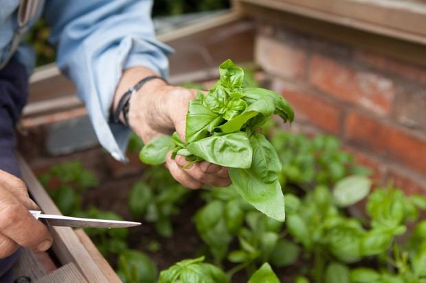 A fresh bunch of basil