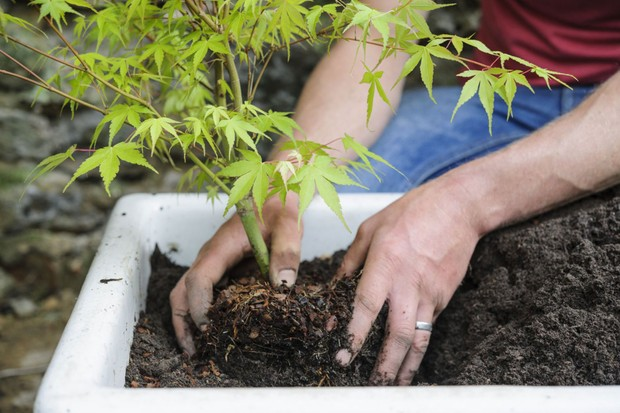 Acer pot display - planting the acer