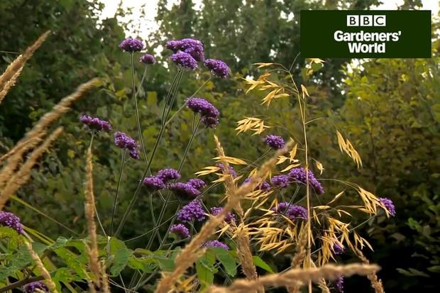 Stipa and verbena bonariensis flowers