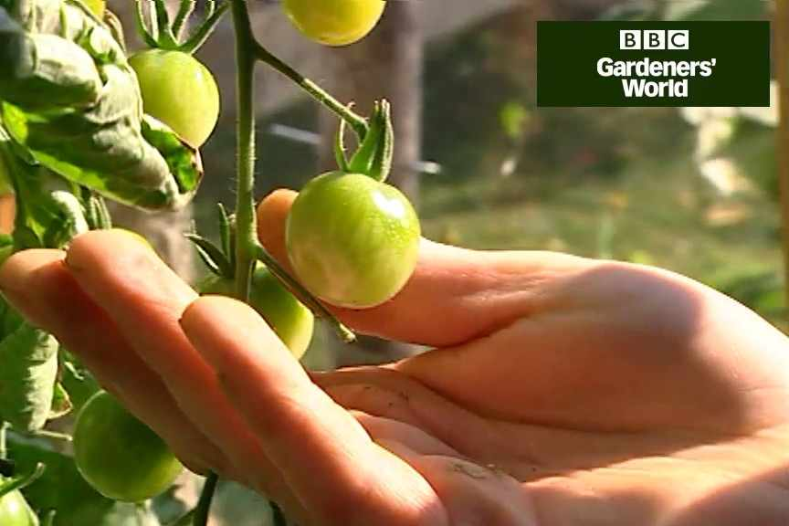 How to ripen tomatoes on the vine